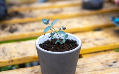 Growing Eucalyptus from seed