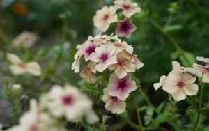 buy seeds phlox drummondii grandiflora cherry caramel online Eu shipping